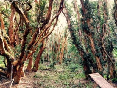 bosque de arrayanes unico en el mundo